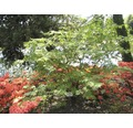 Sträucher-Set Vorgarten-Laub 1 x Eisenhutblättriger Ahorn & 2 x Fingerstrauch 'Kobold' 30/40 cm, 3 Stk