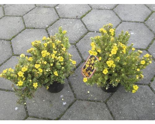 Sträucher-Set Vorgarten-Laub 1 x Großblumiger Schneeball & 2 x Fingerstrauch 'Kobold' 30/60 cm, 3 Stk