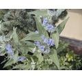 Sträucher-Set Sommerblüher Bartblume 'Heavenly Blue', Gold-Bartblume & Bunte Strauchspiere 30/40 cm, im Topf, 3 Stk