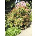 Sträucher-Set Vorgarten-Immergrün Schattenglöckchen/Pieris japonica 20/40 cm, im Topf, 3 Stk
