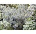 Gehölze-Set Vorgarten Sonne Zwergiger Kugel-Lebensbaum, Blaue Pummelkiefer & Sibirischer Zwerg-Lebensbaum 20/30 cm, im Topf, 3 Stk