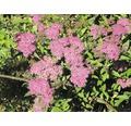 Sträucher-Set Sommerblüher Rosa Zwergspierstrauch, Bunte Strauchspiere & Rote Sommerspiere 30/40 cm, im Topf, 3 Stk