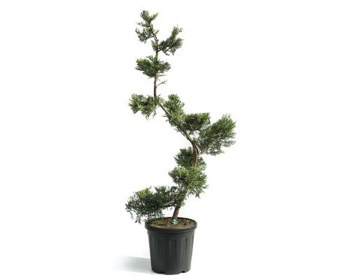 Englische Zypresse Bonsai Cupressocyparis leylandii 'Castlewelland Gold' H 140-150 cm Co 25 L