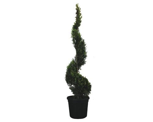 Gelbe Leyland-Zypresse Spirale FloraSelf Cupressocyparis leylandii 'Castlewellan Gold' H 150-170 cm Co 25 L