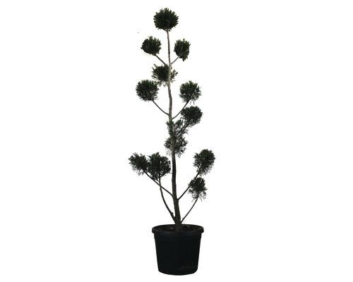 Englische Zypresse PonPon FloraSelf Cupressocyparis leylandii H 150-170 cm Co 30 L