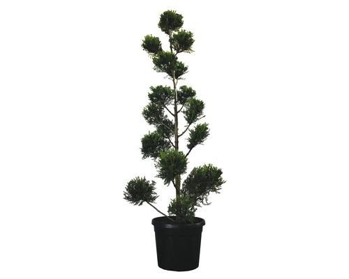 Gelbe Leyland-Zypresse PonPon FloraSelf Cupressocyparis leylandii 'Castlewellan Gold' H 150-170 cm Co 30 L