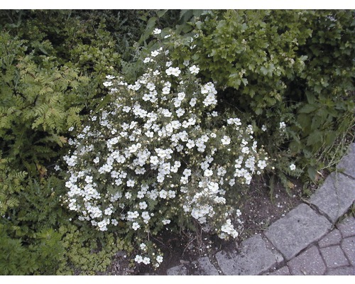 Sträucher-Set Sommerblüher Fingerstrauch gelb & weiß 30/40 cm, im Topf, 3 Stk