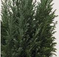 Blaue Kegelzypresse, 20 - 30 cm