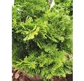 Japanische Zwerg-Muschelzypresse, 15 - 20 cm