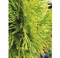 Lebensbaum/Thuje 'Golden Smaragd' 40/60 cm 3 L-Topf
