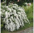 Weiße Prachtspiere 80/100 cm