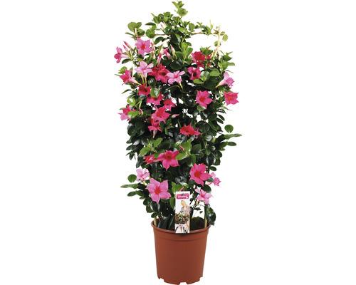 Mandevilla Dipladenia sundevilla dunkelrosa Spalier T21 90 cm