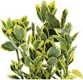 6 x Japanischer Spindelstrauch FloraSelf Euonymus japonicus 'Marieke' H 15-20 cm Co 1 L