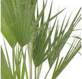 Petticoat-Palme Washingtonia robusta T21 80 cm