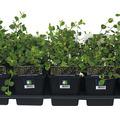 12 x Zwergmispel FloraSelf Cotoneaster dammeri 'Evergreen' H 20-30 cm Ø 9 cm Topf