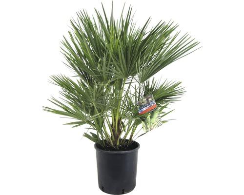 Zwerg-Palme Chamaerops humillis T21 80 cm