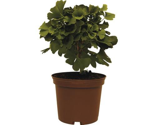 Zwergform des Fächerblattbaums, 20 - 25 cm