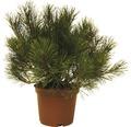 Bergkiefer FloraSelf Pinus mugo H 15-20 cm 3 L
