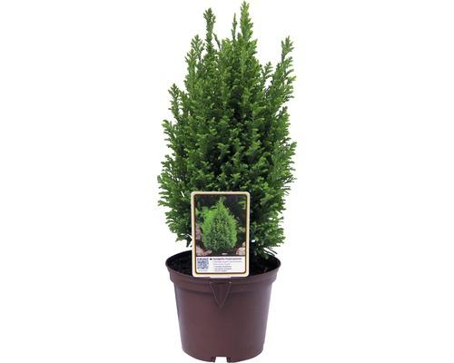 Goldgelbe Kegelzypresse, 20 - 30 cm