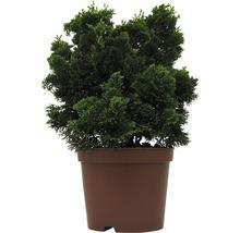 Zwerg-Muschelzypresse, 20 - 25 cm