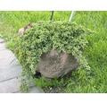 Japanische Kriechwacholder, 20 - 25 cm