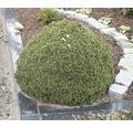 Grüne Kugelfichte, 15 - 20 cm
