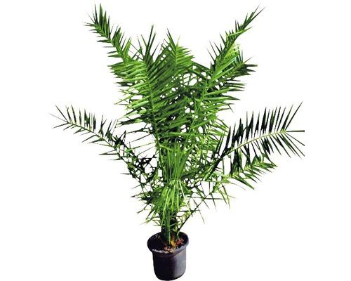 Phoenix-Palme Phoenix canariensis T20 100-125cm