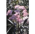 Schwarzer Hollunder 'Black Beauty', 50 - 60 cm