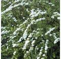 Weiße Rispenspiere 'Greifsheim' 50/60 cm