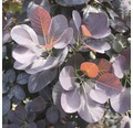 Roter Perückenstrauch 'Royal Purple' 40/60 cm