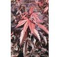Fächerahorn Acer palmatum 'Skeeter's Broom' H 40-50 cm Co 4 L