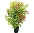 Rote Weigelie 'Bristol Ruby' 80/100 cm
