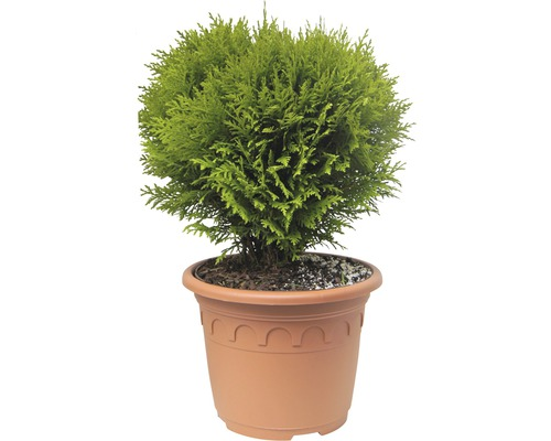 Kugel-Lebensbaum, 30 - 40 cm
