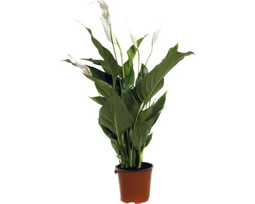 Einblatt FloraSelf Spathiphyllum wallisii 'Sweet Silvio' H 60-80 cm Ø 14 cm Topf