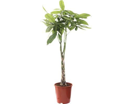 Kakaobaum 130 - 140 cm