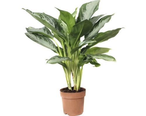 Kolbenfaden FloraSelf Aglaonema commutatum 'Silver Bay' H 55-65 cm Ø 17 cm Topf